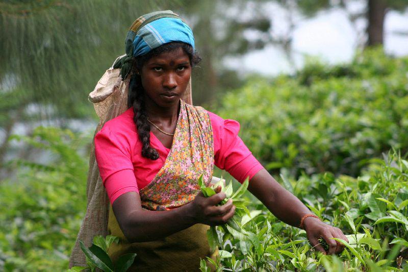 Familiereis Sri Lanka – 20 dagen - Op de thee bij Dombo