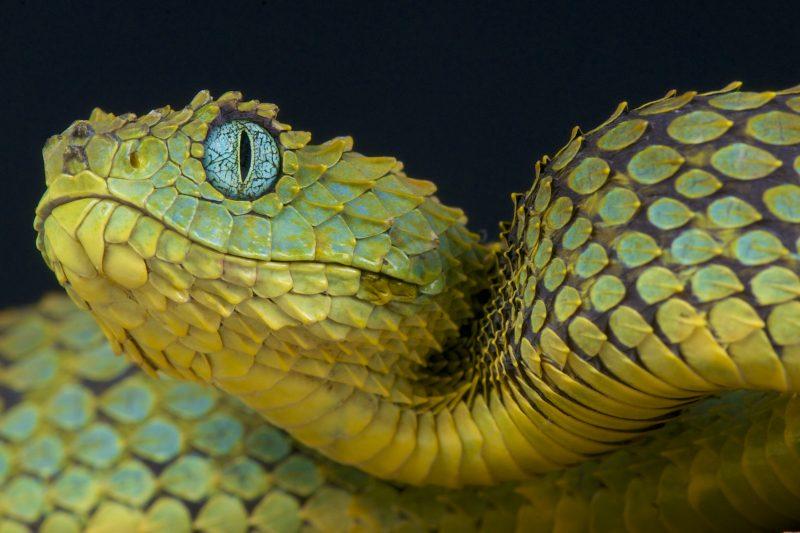Bush viper slang uit Afrika