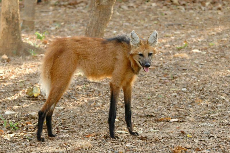 Manenwolf uit Zuid-Amerika
