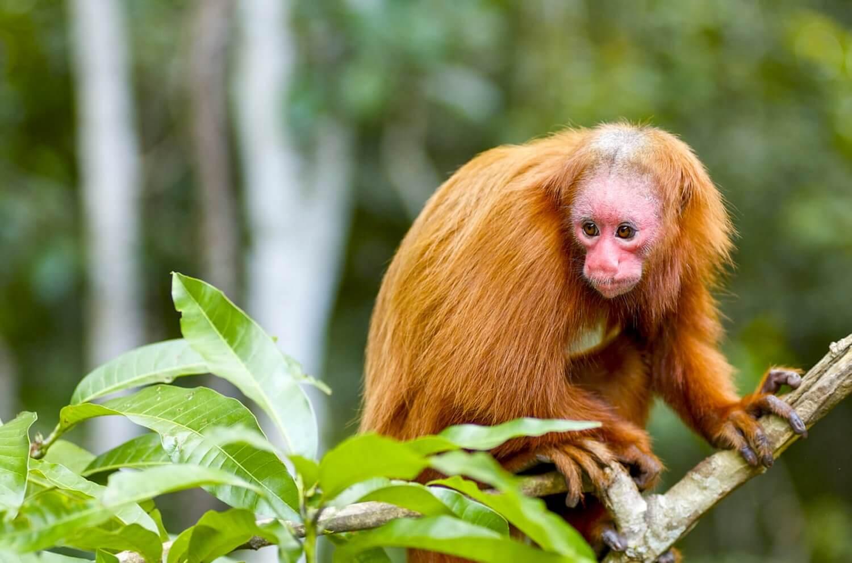 Amazone aapje in de jungle bij Iquitos in Peru