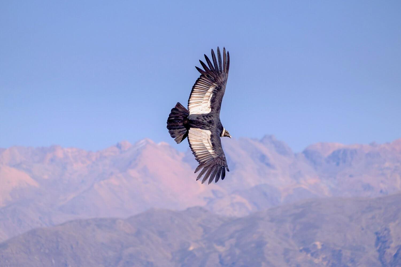 Condor vliegt boven de Colca Canyon in Peru