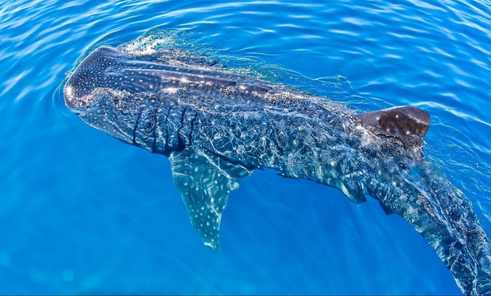 Een walvishaai vanaf de boot gefotografeerd